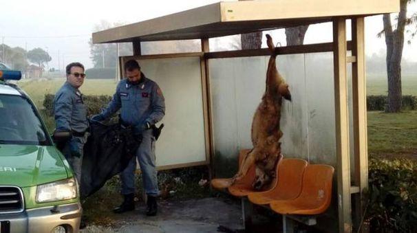 Il lupo appeso alla fermata dell'autobus