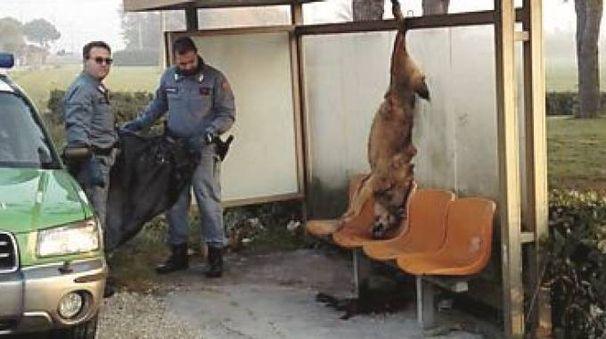 La carcassa del lupo seviziato e ucciso appesa alla pensilina del bus a Coriano