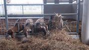 Sono 200 gli animali che vivono nelle stalle di Fico (foto Schicchi)