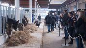 Asini e cavalli in stalle perfettamente funzionanti  (foto Schicchi)