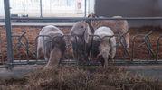 Lo spazio dedicato alle pecore  (foto Schicchi)