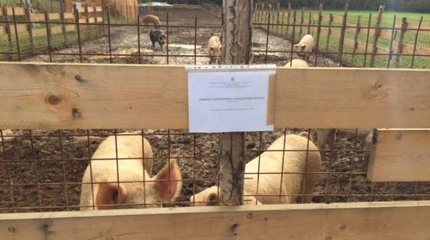 I maiali sotto sequestro