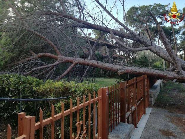 L'albero caduto a Principina a Mare