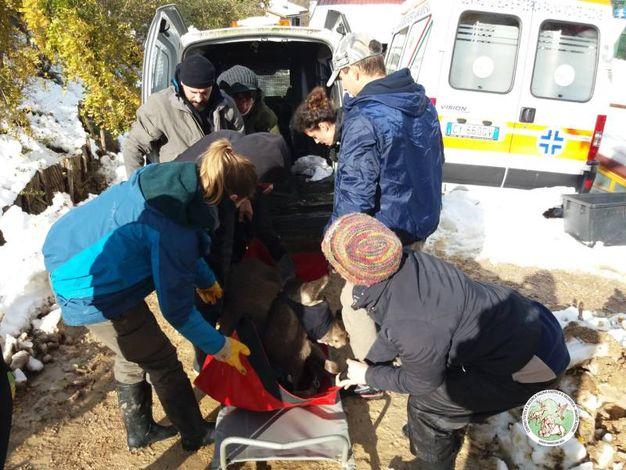 Il capriolo è stato ferito in un incidente a Castiglione dei Pepoli