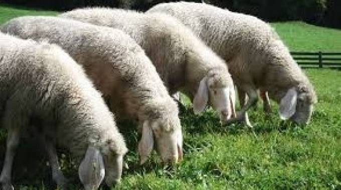 Un gregge di pecore è stato assalito dai lupi (foto d'archivio)