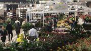 Fiori e piante da Fico (foto Schicchi)