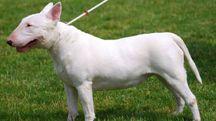 Bull terrier, foto generica