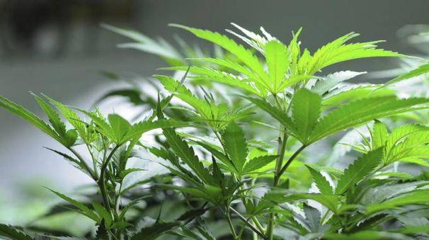 Nel casolare di Portomaggiore furono trovati 3 chili di marijuana
