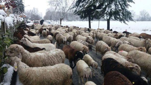 Gregge di pecore sotto la neve a Cardè nel Cuneese (Ansa)