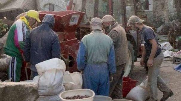 Le fasi della battitura della castagne nell'azienda agricola con operai e titolari
