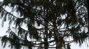L'albero arriva direttamente dal Parco nazionale delle Foreste Casentinesi (foto Frasca)