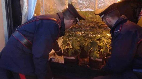 Serra di marijuana (foto di repertorio)