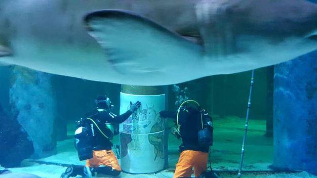 Visibilimente incuriosito il grosso squalo toro femmina di circa 3 metri si avvicina ai due sub impegnati nel lavoro