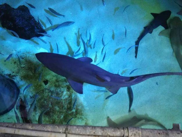 Altri squali toro, dopo un primo momento di soggezione, si fanno sempre più arditi e curiosi, avvicinandosi sempre più agli uomini