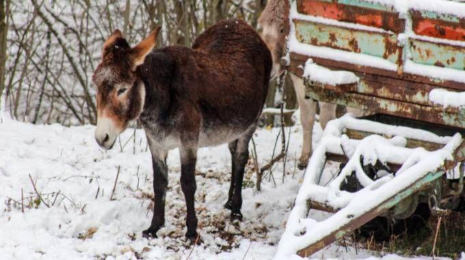 Asino nella neve (Foto L.Gallitto)