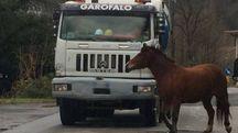 Il puledro che mercoledì, in tarda mattinata, si aggirava spaventato tra auto e camion ad Aulla