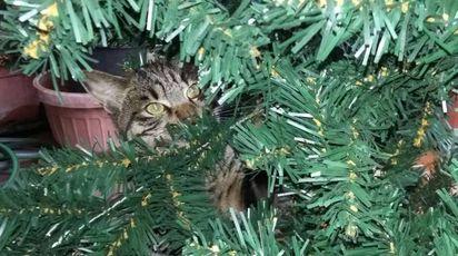 Gatto alle prese con l'albero di Natale (Foto L.Gallitto)