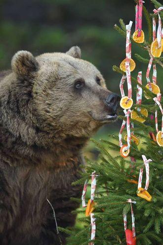 L'orso bruno adora l'albero di Natale di Dunstable, nel Bedfordshire (Lapresse)