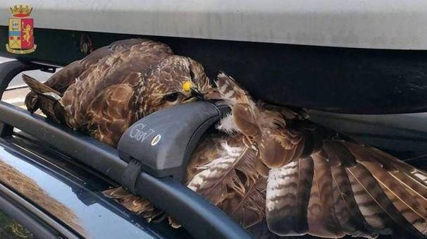 Il falco incastrato