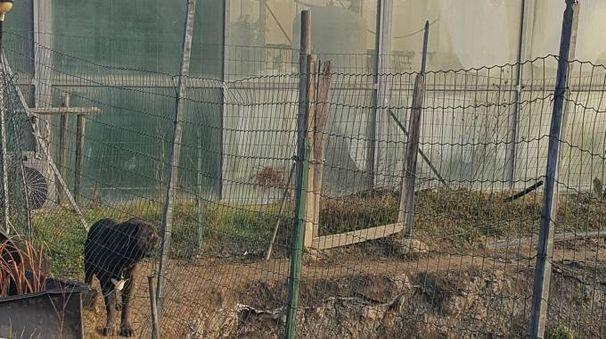 L'immagine dei cani corsi all'interno della fattoria dove si sono introdotti, aggredendo due caprette e sbranandole. Al momento i due animali sono al canile