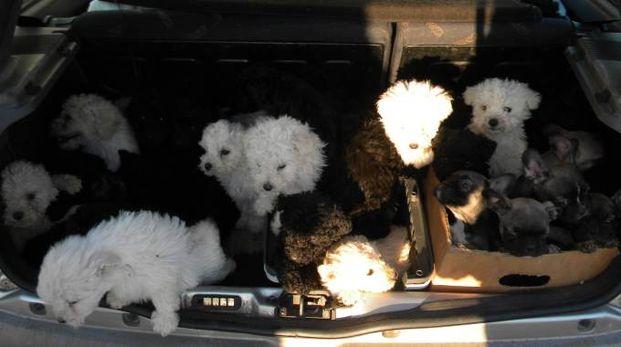 I cani sequestrati dalla polizia stradale di Altedo