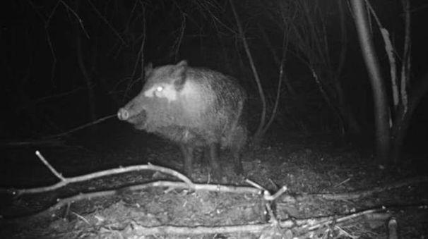 Un cinghiale avvistato di notte