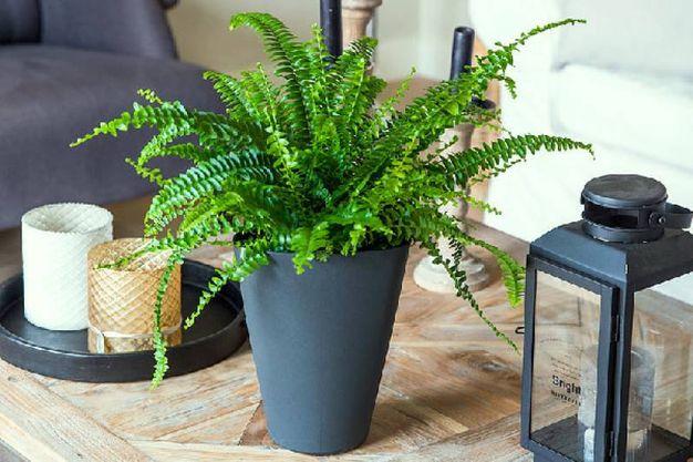 Sei piante da interni che decorano e purificano l aria magazine tempo libero - Piante da casa che purificano l aria ...