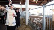Gli animali di Fico non vengono macellati (foto Schicchi)
