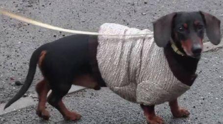 Uno dei cani vestiti dalla boutique di Brera (Ansa)