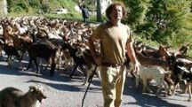 Il pastore Rolando Alberti con il suo gregge