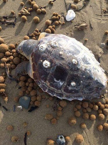 La tartaruga fotografata da chi ha fatto la segnalazione