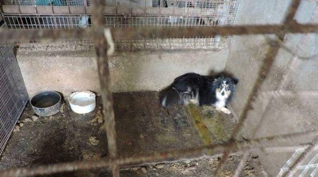 Il blitz è stato fatto in un allevamento abusivo di Misano Adriatico: cani malati abbandonati in mezzo al fango
