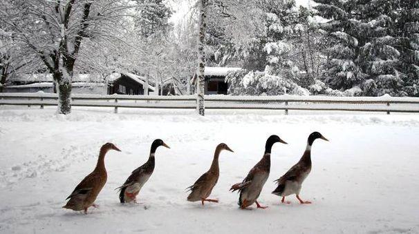 Papere tra la neve (Ansa)