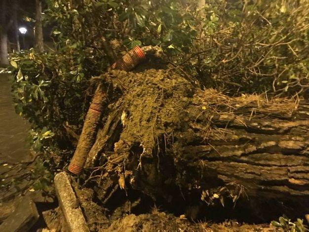 Il pino caduto