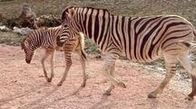 Il cucciolo di zebra con la sua mamma