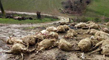 I capi massacrati dai lupi