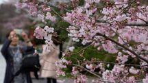 Equinozio di primavera 2018, i ciliegi in fiore a Tokyo (Lapresse)
