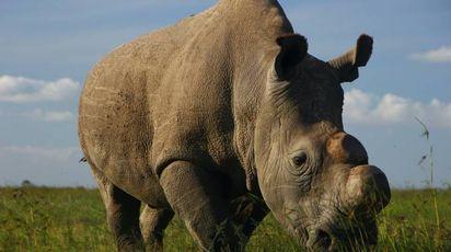 Sudan, l'ultimo rinoceronte bianco adesso morto (foto Wwf)