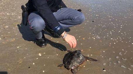 La tartaruga salvata dalla pattuglia del Poliziotto di quartiere