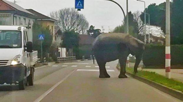 L'elefante fuggito (De Pascale)