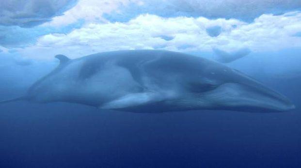 Una balena nei ghiacci dell'Artico (Ansa)