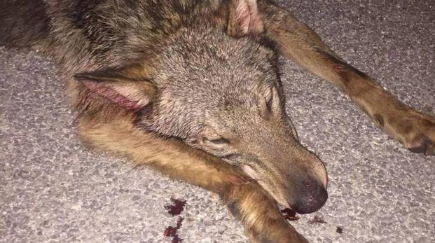 La giovane lupa investita e uccisa