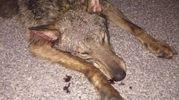 La giovane lupa è morta sul colpo
