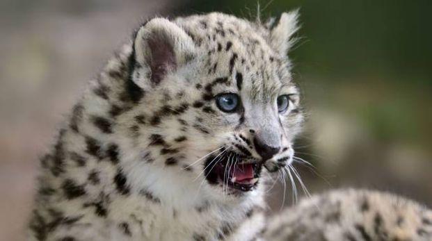 Cucciolo di leopardo delle nevi - Foto: Freder/iStock
