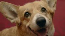 Willow, il più anziano dei cani corgi della regina Elisabetta II (da youtube)