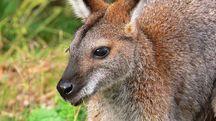 Un esemplare du Wallaby