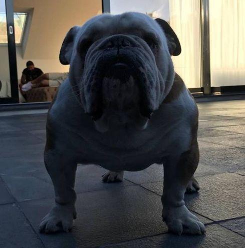 Il bulldog di Zlatan Ibrahimovic