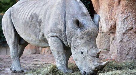 Pancho, il rinoceronte bianco