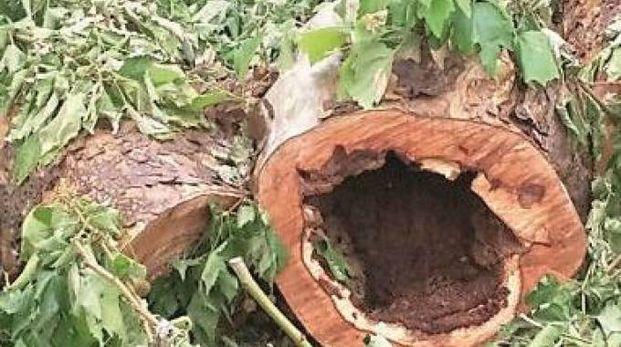Uno degli alberi abbattuti