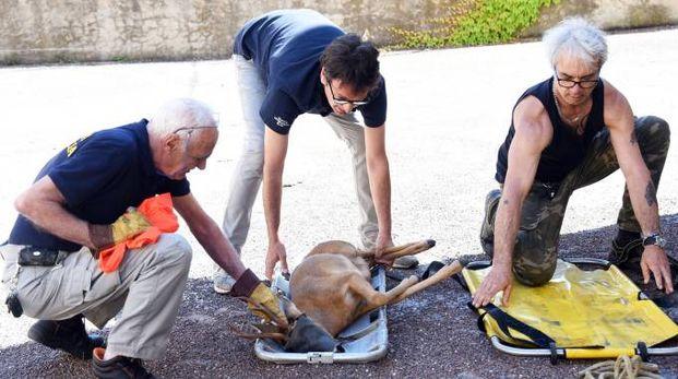 La cattura del capriolo (foto Migliorini)